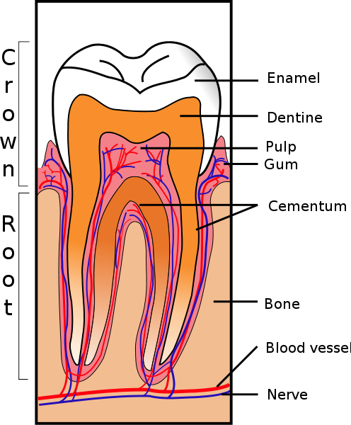 tooth structure diagram