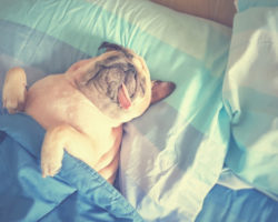 pug sleeping in bed with tongue out