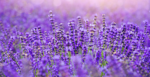 Lavender to Reduce Anxiety and Stress